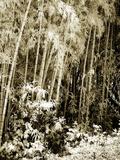 Bamboo Grove I Photographic Print by Alan Hausenflock