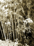 Bamboo Grove II Photographic Print by Alan Hausenflock