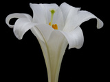 Lily on Black IV Photographic Print by Jim Christensen