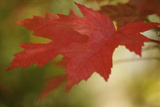 Maple Fire Leaves I Photographic Print by Vitaly Geyman