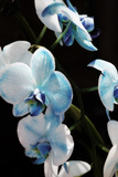 Blue Moth Orchids II Photographic Print by Alan Hausenflock