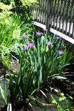 Spring Iris I Photographic Print by Alan Hausenflock