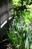 Spring Iris II Photographic Print by Alan Hausenflock