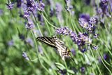 Lavender and Butterfly I Photographic Print by Dana Styber
