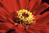 Red Zinnia I Photographic Print by Bob Stefko