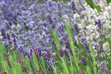 Lavender Sway II Photographic Print by Dana Styber