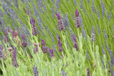 Lavender Sway I Photographic Print by Dana Styber