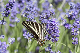 Lavender and Butterfly II Photographic Print by Dana Styber