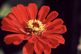 Red Zinnia II Photographic Print by Bob Stefko