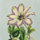 Purple Clematis Posters by Sarah Elizabeth Chilton