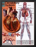 Circulatory System Posters