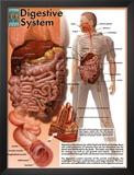 Digestive System Prints