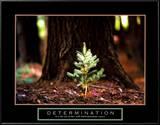 Determinación, en inglés, pequeño pino Láminas