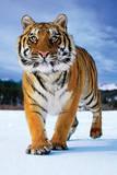 Tiger Snow Art Print Poster Poster