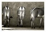 Zebra Butts Prints by Courtney Lawhorn