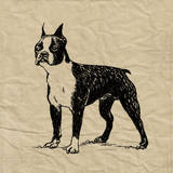 Boston Terrier Poster by Sabine Berg
