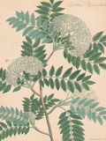 Indian Botanicals III Prints by Nathaniel Wallich
