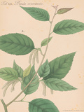 Indian Botanicals I Prints by Nathaniel Wallich