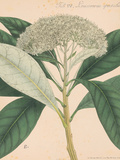Indian Botanicals II Print by Nathaniel Wallich