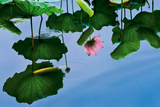 Lotus In Reflection Giclee Print by Nhiem Hoang The