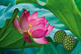 Lotus Paradise Giclee Print by Nhiem Hoang The