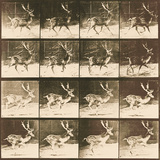 Fallow Deer Reproduction procédé giclée par Eadweard Muybridge