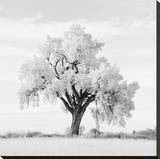 Oak Tree Stretched Canvas Print by Jean Miele