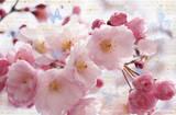 Kirschblüte Poster