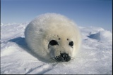 A  Newborn Harp Seal Pup in a Fat White Coat, Stares Directly At the Camera Fotografisk tryk af Norbert Rosing