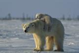Norbert Rosing - Polar Bear Cub Riding On Its Mother's Back Fotografická reprodukce