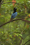A Male Blue Bird of Paradise Calling Photographic Print by Tim Laman