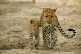 Leopard and Her Cub Walking Together Fotografisk tryk af Beverly Joubert