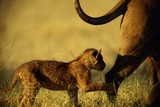 African Lion Cub (Panthera Leo) Follows Its Mother Photographic Print by Beverly Joubert