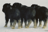 Three Musk-ox Calves, Separated From Their Mothers During Flight Fotografisk tryk af Norbert Rosing