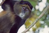 A Golden Monkey, Cercopithecus Mitis Kandti, in a Tree, Observing Fotografisk tryk af David Pluth