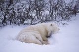 A Polar Bear  and Her Cub Sleep in the Snow. Photographic Print by Maria Stenzel