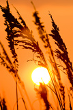 Sea Grass Silhouetted At Sunrise Photographic Print by Brian Gordon Green