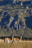 Guanacos Graze and Roam in the Steppe of the Chacabuco Valley Photographic Print by Beth Wald