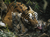 An Indian Tigress Licks One of Her Tiny New Cubs Stampa fotografica di Nichols, Michael