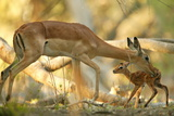 A Mother Antelope Grooming Her Baby Photographic Print by Beverly Joubert