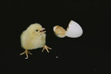 A 21-day-old Egg Hatches Photographic Print by Robert Sisson
