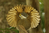 A Young Male Paradise Riflebird Performs a Practice Display Photographic Print by Tim Laman