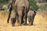 Rear View of Female Elephant Flanked By Two Babies Photographic Print by Mark Cosslet