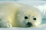 A  Newborn Harp Seal Pup in a Thin White Coat Stares Directly At the Camera Fotografisk tryk af Norbert Rosing