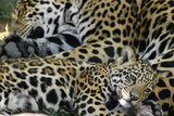 An Adult Jaguar and Cub Relax Photographic Print by Steve Winter