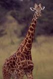 Portrait of Male Massai Giraffe, Giraffa Camelopardalis Teppelskirchi Fotografisk tryk af David Pluth