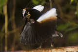 A Male Carola's Parotia At His Display Court Photographic Print by Tim Laman