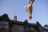 A Rothschild Giraffe Appears to Be Peering Down Upon Giraffe Manor Photographic Print by Robin Moore