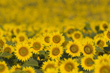 A Field of Sunflowers, Helianthus Annuus, in Bloom Photographic Print by Joe Petersburger