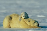 This Young Polar Bear (Ursus Maritimus) Cub Rests Comfortably Atop the Back of His Mother Lámina fotográfica por Norbert Rosing